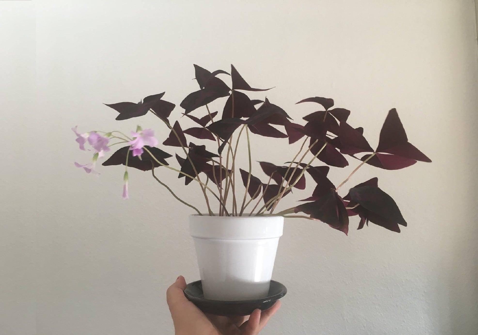 گل اگزالیس ، گلی با رنگ و بوی پاییزی برای طراحی داخلی منزل