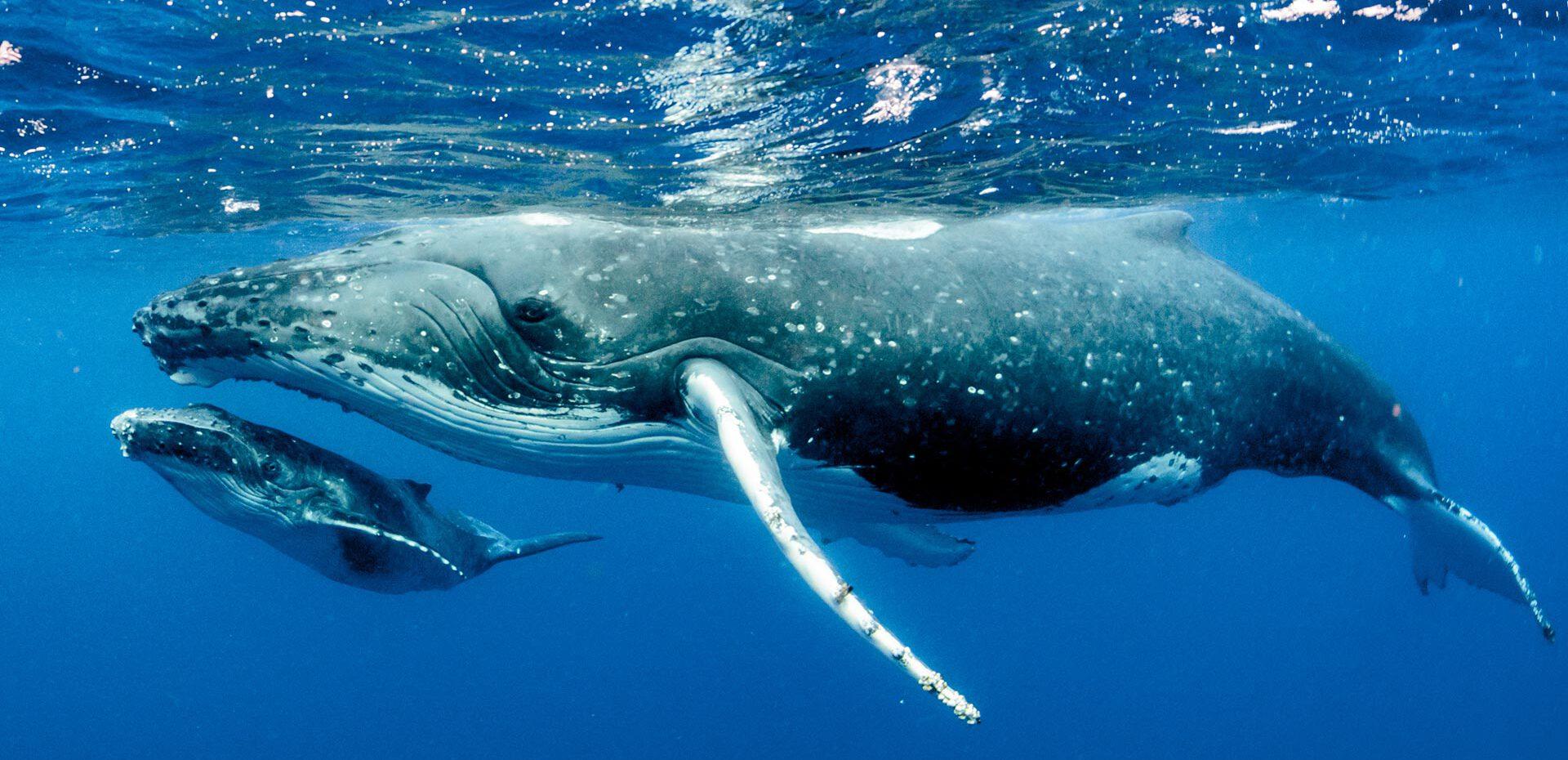 نهنگ های آبی