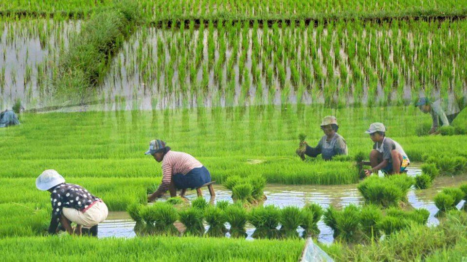 بزرگترین تولیدکنندگان برنج