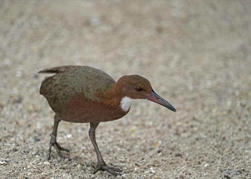 20 نمونه دانش طبیعی - 4. پرندهای با نام «الدبرا» (Aldabra) از تیره یلوه سینه سفید وجود دارد که 2 بار تکامل یافته و بعد از انقراض دوباره به وجود آمده است. این پرنده یک بار در حدود 136,000 سال قبل منقرض شده و با «تکامل تکرارشونده» - نسبت اجدادی یکسان با گونههای منشعب شده موازی که در زمانهای مختلفی به وجود میآیند - به طبیعت بازگشته است.