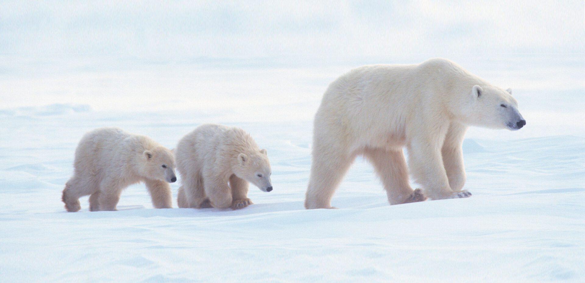 انقراض خرس های قطبی