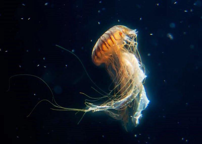 15. عروس دریایی میتواند به بزرگی یک انسان باشد.