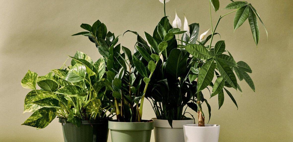 گیاه آپارتمانی